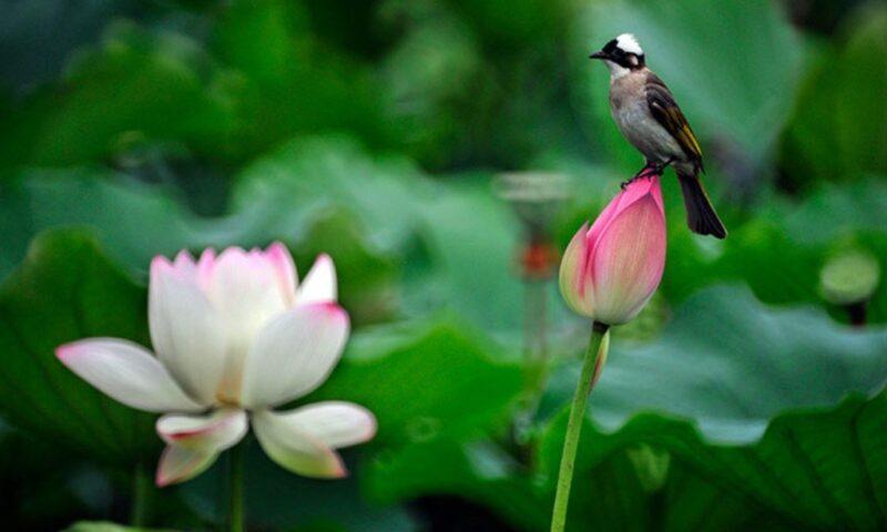 Chiêm bao thấy hoa sen, bông sen  điềm báo gì, lành hay dữ?