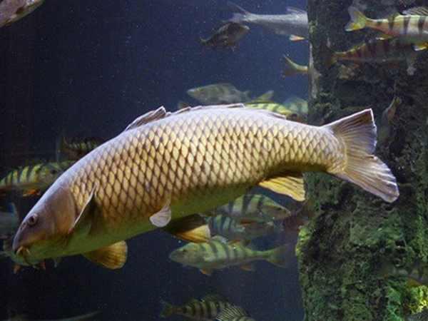 Nằm mơ thấy bắt được cá chép là điềm báo gì, đánh số mấy?