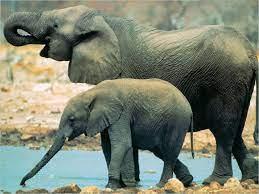 Mơ thấy con voi