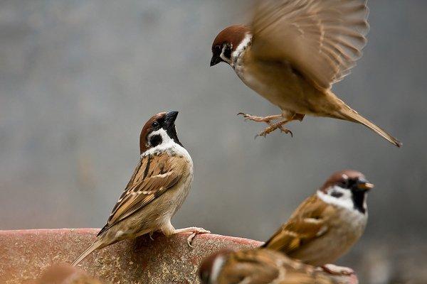 Nằm mơ thấy chim đánh con gì ? Mơ thấy chim sẻ, bồ câu