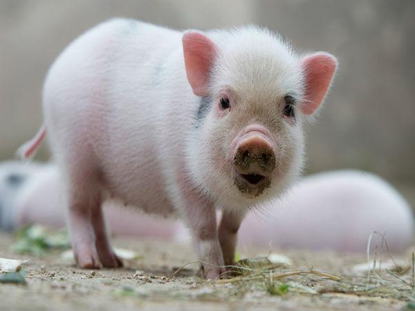 nằm mơ thấy lợn chết